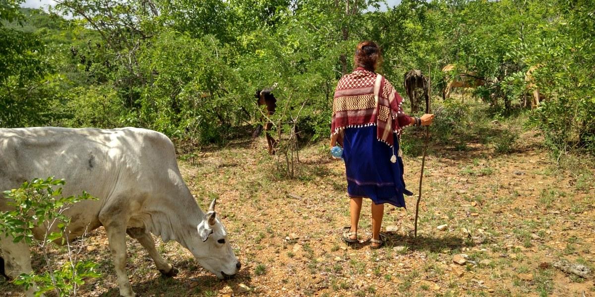 רועים צאן עם הפרות עם שבט המסאי