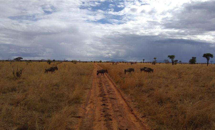 עדר גנו בטנזניה