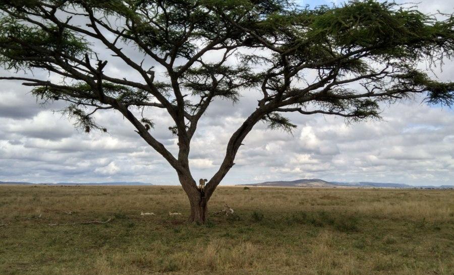 צ'יטות בסרנגטי טנזניה