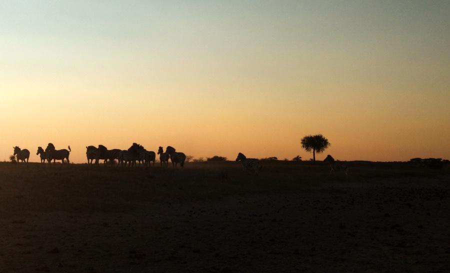עדר של זברות במדבר בבוטצואנה