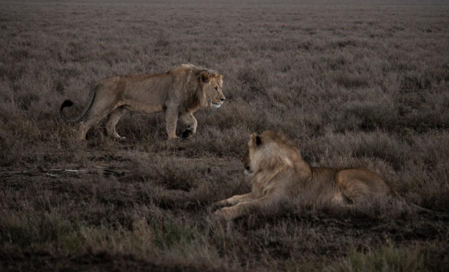 אריות בספארי בטנזניה