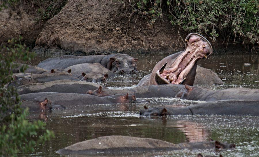 היפופוטם מפהק בספארי בטנזניה