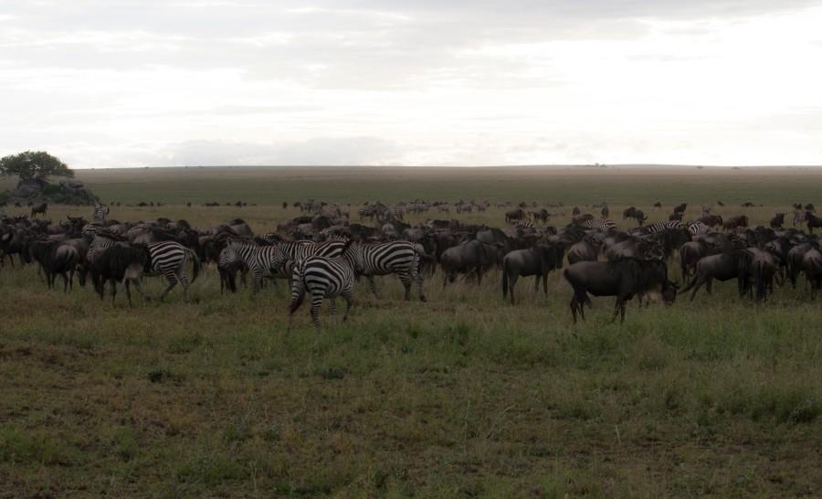עדרי גנו וזברה בספארי בטנזניה