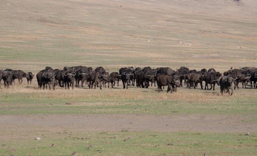 עדר בפאלו בסרנגטי טנזניה