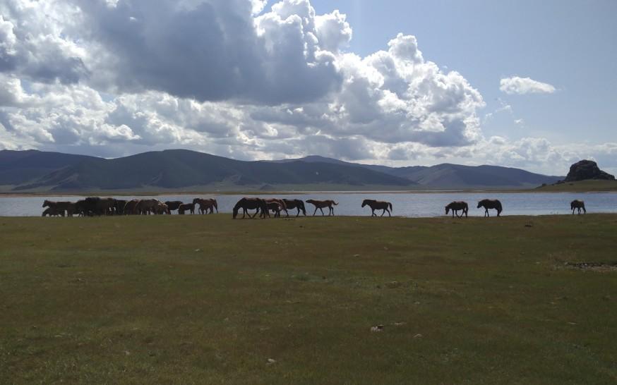 סוסים מתרחצים באגם הלבן במרכז מונגוליה