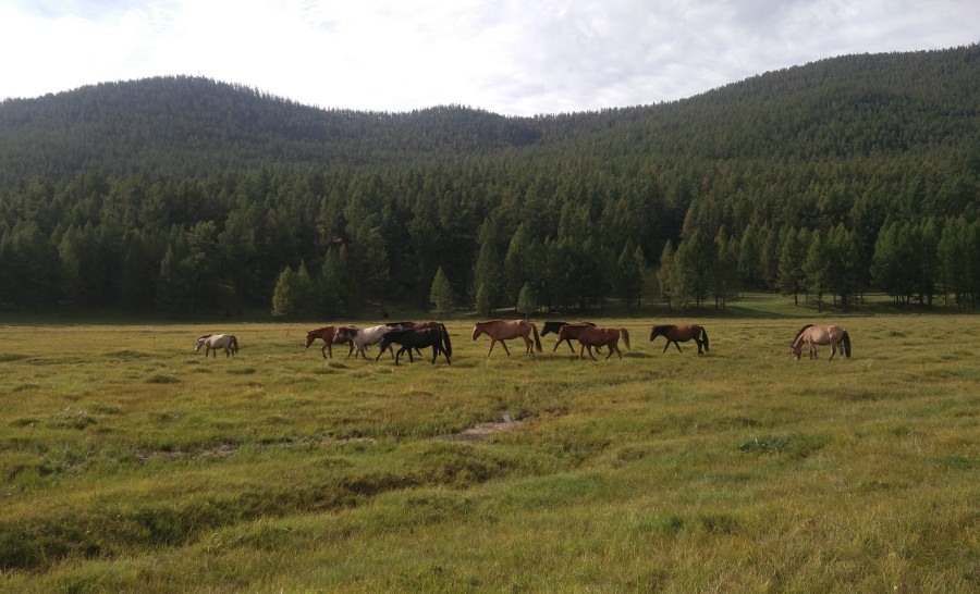 סוסים במעיינות החמים של מרכז מונגוליה