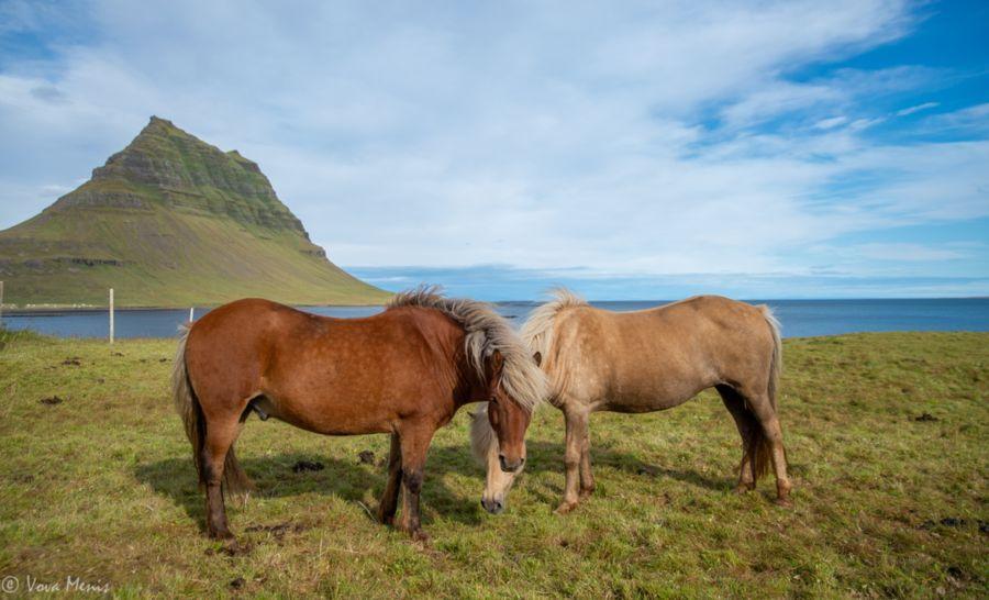סוסים איסלנדים