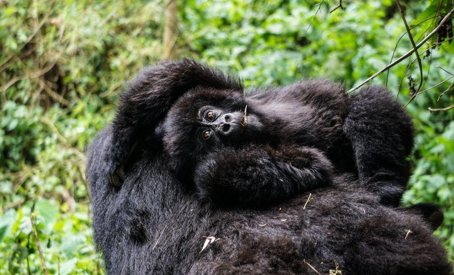 אמא ותינוק גורילה באפריקה
